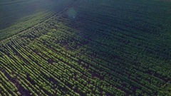 Aerial view of sunflowers field and sun light over sky Stock Footage