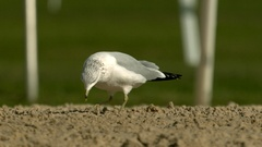 Seagull Picking up Food and Shaking Head in Slow Motion Stock Footage