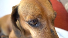Close up an eye of a basset Stock Footage