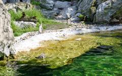 Penguin bird jumping into the water Stock Photos