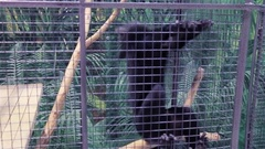 Video clip of a monkey sitting in a cage, and shows itself from behind bars Stock Footage