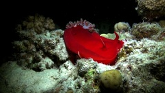 Mollusk Spanish Dancer Stock Footage