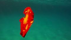 Mollusk Spanish Dancer dancing Stock Footage