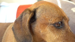 Close up an eye of a basset in profile Stock Footage