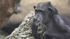 Closeup of chimpanzee scratching nose, flat color, slow motion Stock Footage