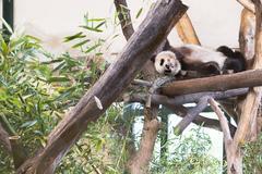 Photo of giant panda bear sleeping Stock Photos