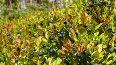 Blueberries Stock Footage