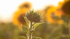 Bud not blooming flower of sunflower on background of yellow field of sunflowers Stock Footage