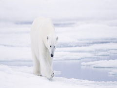 Polar Bear walking on pack ice Stock Footage
