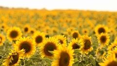 Wind shakes sunflowers on field on sunny day, sunflower harvest Stock Footage