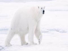 Polar Bear walking on pack ice Stock Footage