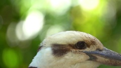Kookaburra Close up, flying away,slow motion Stock Footage