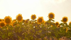 Golden field of sunflowers sunny day yellow flowers swaying in wind Stock Footage