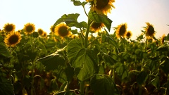 Yellow sunflowers swaying in the wind, a beautiful golden field of sunflowers Stock Footage