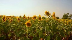 Golden field of sunflowers sunny day yellow sunflowers swaying in wind blue sky Stock Footage