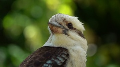 Kookaburra Close up, slow motion Stock Footage
