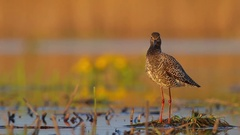 Spotted Redshank. Spring. Stock Footage