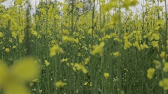 Slow motion. Young woman with little girl walk by the flowering field of rape. Stock Footage