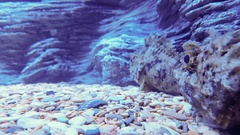 Two scorpion fish in sea aquarium Stock Footage