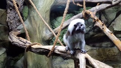 Cotton Top Tartar sits on branch in the monkey Stock Footage
