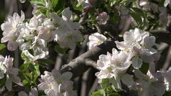 4k White wild roses flowers very close up Stock Footage