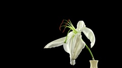 Time-lapse of dying white lily with ALPHA channel Stock Footage