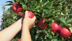 Close-up of a hand torn branches with ripe apples Stock Footage