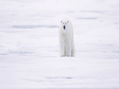 Polar Bear walking toward camera on pack ice Stock Footage