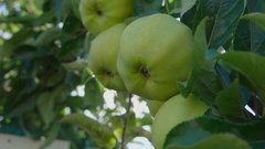 Ray of sun shining through branch of apples Stock Footage