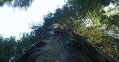 Looking Up At A Large Redwood Tree Stock Footage