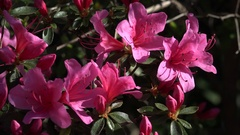 4k White-pink Azaleas flowers very close up Stock Footage