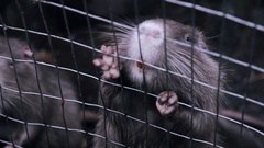 Nutria with orange teeth in the cage Stock Footage