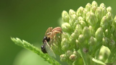 Insect Dimorphic jumping spider sits in leaves and holding  black carpenter ant Stock Footage
