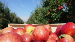 Box of red apples moves along a row of apple trees Stock Footage