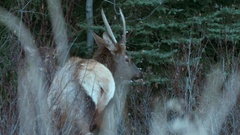 Elk grazing in shrub and grassy areas. Stock Footage