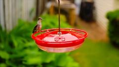 Hummingbird at feeder-closeup Stock Footage