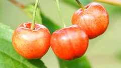 Three sweet cherry berries growing on a tree Stock Footage