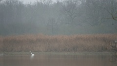 4k White heron in pond reed landscape at foggy winter season Stock Footage