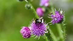 Bumblebee and flies on the Carduus plant Stock Footage