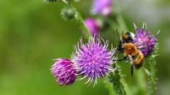 Humblebees on the Carduus plant Stock Footage