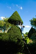 Man on top of ladder trimming ornamental hedge with garden shears Stock Photos
