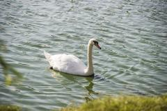 White swan at the pond Stock Photos