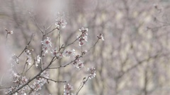 Pink cherry flowers blooming in springtime swining in the wind Stock Footage