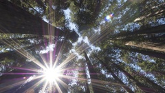 Time Lapse of the California Redwood Forest and the Sun Flaring Through Trees 4K Stock Footage