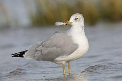 Ring-billed Gull holding a feather in its beak - Florida Stock Photos