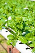 Organic hydroponic vegetable cultivation Stock Photos