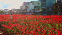 Red Flower Salvia Plantation in Front of Buildings along Road Stock Footage