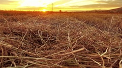 Farmer moving pov over straw on rice field left after harvest Stock Footage