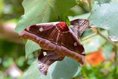 Big butterfly Gonimbrasia belina, emperor moth Madagascar Stock Photos