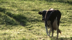 Cow grazing in a meadow. Stock Footage